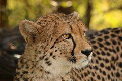 Chita Zimbabwe, parque nacional de Hwange Fotografia de Stock