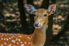 Chital或被察觉的鹿母鹿轴轴在国家公园 免版税库存照片