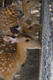 Chital或cheetal鹿 免版税库存图片