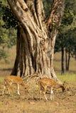 Chital鹿在老树下在Kanha国家公园,印度 免版税图库摄影