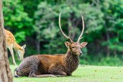 Chital鹿,被察觉的鹿,在下雨天的轴鹿 库存图片