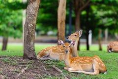 Chital鹿,被察觉的鹿,在下雨天的轴鹿 免版税库存照片