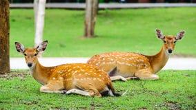 Chital鹿,被察觉的鹿,在下雨天 免版税库存照片