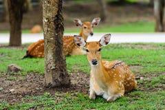 Chital鹿,被察觉的鹿,在下雨天 免版税库存图片