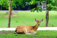 Chital鹿,被察觉的鹿,在下雨天 库存照片