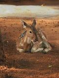 Chital鹿,被察觉的鹿,轴鹿 库存图片