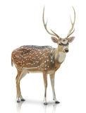 Chital,在白色背景中隔绝的被察觉的鹿 免版税库存图片