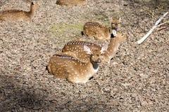 Chital,轴轴,是丰富的亚洲鹿 库存图片