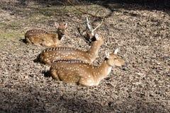 Chital,轴轴,是丰富的亚洲鹿 库存照片
