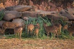 Chital, Cheetal,被察觉的鹿,轴鹿吃 库存照片