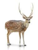 Chital, запятнанный олень изолированный в белой предпосылке Стоковые Изображения RF