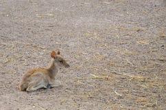 Chital или cheetal олени (ось оси) Стоковая Фотография RF