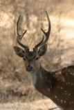 chital рогач оленей Стоковое Фото