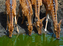 Chital. Ungulates of Kanha Tiger Resesrve Stock Photography