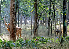 Chital Royalty Free Stock Photo
