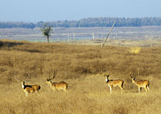 Chital Photos stock