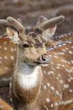 Chital Stock Photo