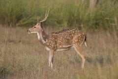 Chital鹿 免版税图库摄影