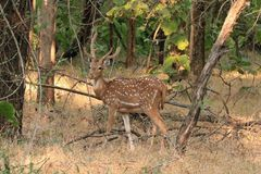 Chital amongst the trees. The chital or cheetal Axis axis, also known as spotted deer or axis deer, is a species of deer that is native in the Indian Stock Photography
