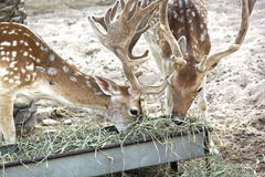 Chital axelaxel, också som är bekant som de prickiga hjortarna i zoo, Abu-dhabi-UAE 21 JULI 2017 Arkivfoto