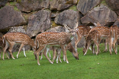 Chital Axis axis. Also known as the spotted deer or axis deer Royalty Free Stock Image
