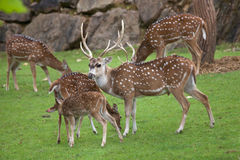 Chital Axis axis. Also known as the spotted deer or axis deer Royalty Free Stock Photo