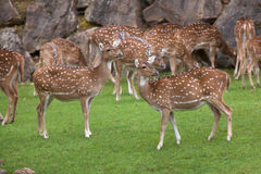 Chital Axis axis Stock Photo