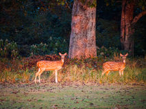 Chital Royalty Free Stock Photos