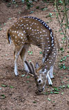 Chital (Axis axis) Royalty Free Stock Photography