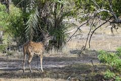 Chital - Axis axis, Sri Lanka. Chital in the national park forest, Sri Lanka Stock Images