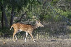 Chital - Axis axis, Sri Lanka. Chital in the national park forest, Sri Lanka Stock Photography