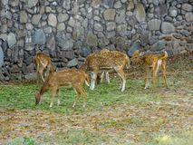 Chital Deer, Cheetal, Spotted deer, Axis deer - graze stock photos