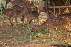 Chital, Cheetal, Łaciasty rogacz, osi jeleni łasowanie Zdjęcia Stock