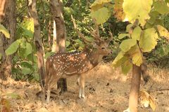 Chital. The chital or cheetal Axis axis, also known as spotted deer or axis deer, is a species of deer that is native in the Indian subcontinent Stock Photos