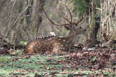 Male axis deer resting on ground after morning grazing royalty free stock photos