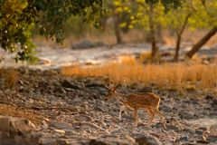 Chital or cheetal, Axis axis, spotted deer or axis deer, nature habitat. Bellow majestic powerful adult animal in stone rock water. India Stock Image
