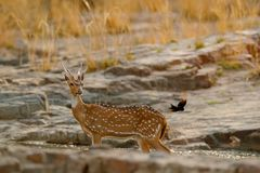 Chital or cheetal, Axis axis, spotted deer or axis deer, nature habitat. Bellow majestic powerful adult animal in stone rock water Royalty Free Stock Images