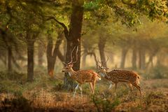 Chital or cheetal, Axis axis, spotted deer or axis deer, nature habitat. Bellow majestic powerful adult animal in stone rock water Stock Images