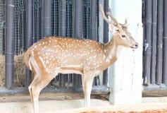 Chital, Cheetal, beschmutzte Rotwild oder Achsen-Rotwild. Lizenzfreie Stockfotos