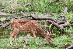 Chital or cheetal deer (Axis axis),. Also known as spotted deer or axis deer in the Bandhavgarh National Park in India. Bandhavgarh is located in Madhya Pradesh Royalty Free Stock Photos