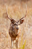 Chital or cheetal deer (Axis axis),. Also known as spotted deer or axis deer in the Bandhavgarh National Park in India. Bandhavgarh is located in Madhya Pradesh Royalty Free Stock Images