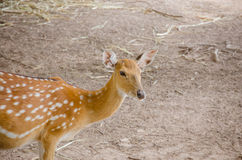 Chital or cheetal deer (Axis axis). Also known as spotted deer or axis deer Royalty Free Stock Photo