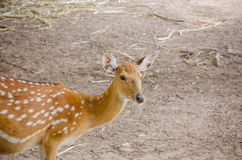 Chital or cheetal deer (Axis axis). Also known as spotted deer or axis deer Stock Photography