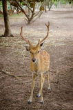 Chital or cheetal deer (Axis axis). Also known as spotted deer or axis deer Royalty Free Stock Images