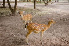 Chital or cheetal deer (Axis axis). Also known as spotted deer or axis deer Stock Photos
