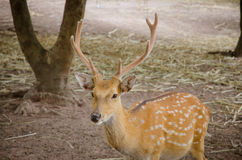 Chital or cheetal deer (Axis axis). Also known as spotted deer or axis deer Stock Photo