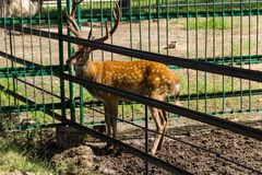 Chital or cheetal deer Axis axis. Also known as spotted deer or axis deer in zoo Stock Images