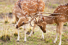 Chital or cheetal deers (Axis axis), Stock Photo