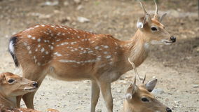 Chital, Cheetal, Spotted or Axis deer resting on ground. stock video footage