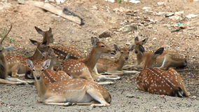 Chital, Cheetal, Spotted or Axis deer resting on ground. stock footage